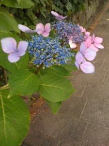 スティッチに似た紫陽花